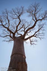 Baobab -puu