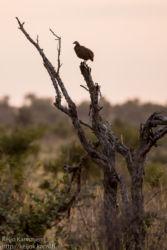Kosteikkofrankoliini (Francolinus swainsonii)