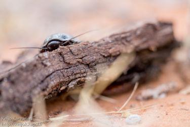 Madagaskarin sihisevä torakka (Gromphadorhina portentosa), Ifaty
