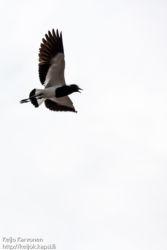 Seppähyyppä (Vanellus armatus)