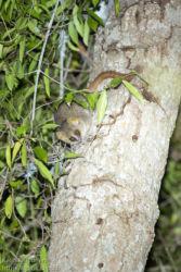 Isohiirimaki (Microcebus murinus), Berenty