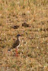 Kruunuhyyppä (Vanellus coronatus)