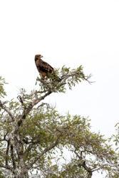 Savannikotka (Aquila rapax)