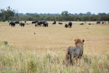Afrikannorsu (Loxodonta africana), Leijona (Panthera leo)
