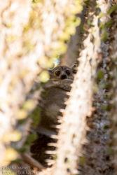 Petter's sportive lemur (Lepilemur petteri), Berenty