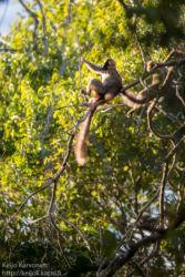 Red-fronted Lemur (Eulemur rufifrons), Berenty