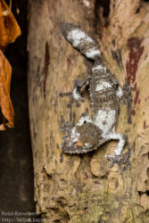 Mossy leaf-tailed gecko (Uroplatus sikorae), matelijapuisto