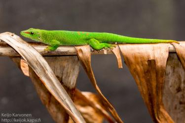 Giant Madagascar Day Gecko (Phelsuma madagascariensisgrandis), matelijapuisto