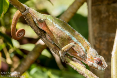 Kameleontti, matelijapuisto