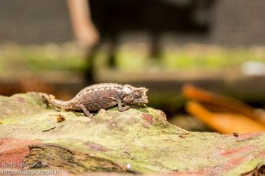 Pieni kameleontti, matelijapuisto