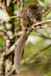 Bokombali (Hapalemur griseus), Andasibe