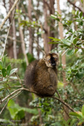 Red-fronted Lemur (Eulemur rufifrons), Andasibe