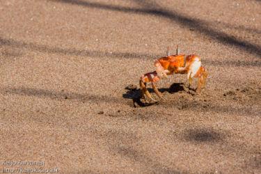 Ghost crab (Ocypode gaudichaudii)