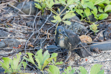 Galapagosinkyyryhaikara (Butorides sundevalli)