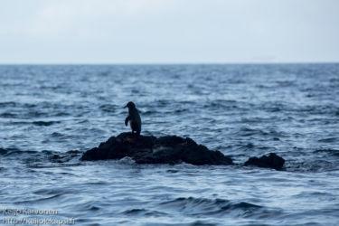 Galapagosinpingviini (Spheniscus mendiculus)