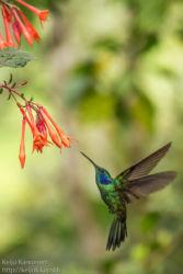 Viherorvokkikolibri (Colibri thalassinus)