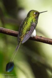 Lippupyrstökolibri (Ocreatus underwoodii)