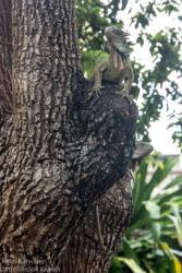 Vihreä iguaani (Iguana iguana), Guayaquil