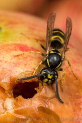 Ampiainen syömässä omenaa