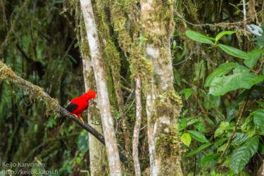 Tuliharjakotinga (Rupicola peruviana)