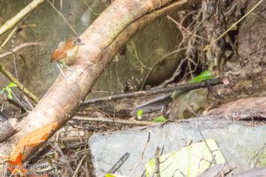 Valkorintaluura (Grallaria hypoleuca)