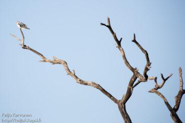 Kapinlauluhaukka (Melierax canorus)