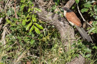 Afrikankukaali (Centropus senegalensis)