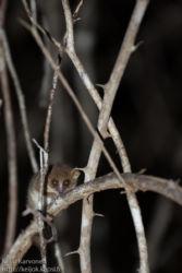 Isohiirimaki (Microcebus murinus), Kirindy National Park