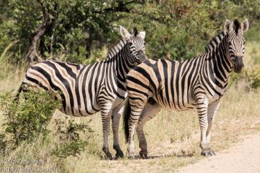 Kvagga (Equus quagga), Loisnokkeli (Buphagus erythrorhynchus)