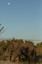 Afrikannorsu (Loxodonta africana)