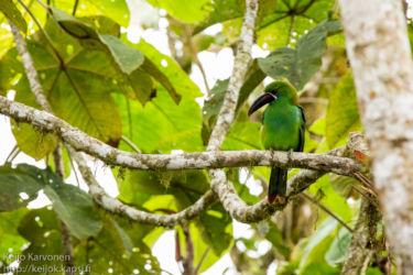 Punaperätukaani (Aulacorhynchus haematopygus)