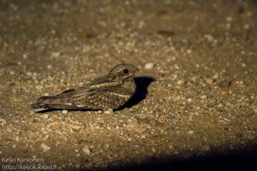 Kapinkehrääjä (Caprimulgus pectoralis)