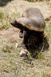 Mesimäyrä (Mellivora capensis), Moholoholo (Wildlife Rehabilitation Centre)