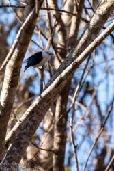 Valkopäävanga (Artamella viridis)