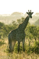 Etelä-Afrikan kirahvi (G.c.giraffa)