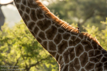 Etelä-Afrikan kirahvi (G.c.giraffa), Loisnokkeli (Buphagus erythrorhynchus)