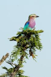 Savannisininärhi (Coracias caudatus)