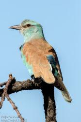 Sininärhi (Coracias garrulus)