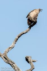 Savannikorppikotka (Gyps africanus)