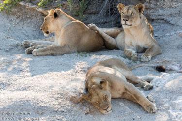 Leijona (Panthera leo)