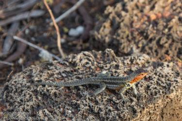 Laavalisko (Tropidurus sp.)