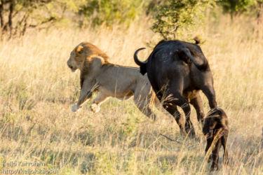Afrikanpuhveli (Syncerus caffer), Leijona (Panthera leo)