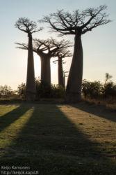 Baobab -puita