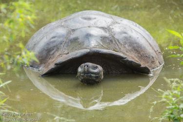 Galápagoksenjättiläiskilpikonna (Chelonoidis nigra)