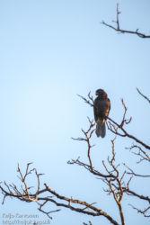 Isomustakaija (Coracopsis vasa), Kirindy Mitea National Park