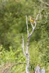 Keltakurkkuvästäräkki (Macronyx croceus)