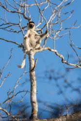 Lakkisifaka (Propithecus verreauxi), Kirindy Mitea National Park
