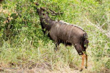 Njala (Tragelaphus angasii)