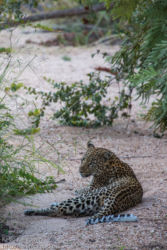 Leopardi (Panthera pardus)