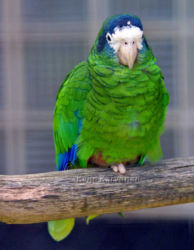 Amazona ventralis, Vogelpark Walsrode. Walsrode 7/2002